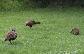 two pheasants and a hedgehog on a green lawn