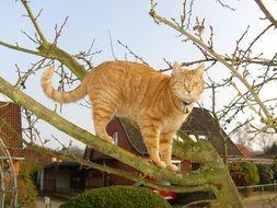 red cat in a collar on the branches of a tree