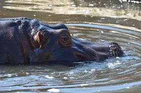 african hippo in the water