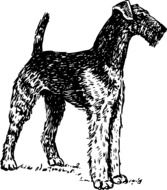 portrait of an airedale terrier
