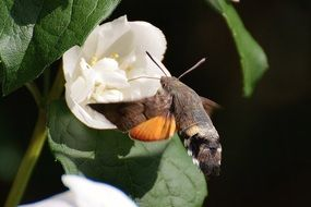 hummingbird hawk moth on a white flowering plants