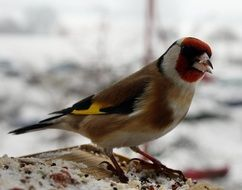 Beautiful colorful European goldfinch in winter