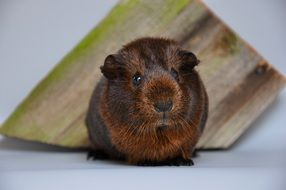 unusually handsome Guinea Pig