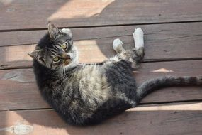 domestic cat lies on wooden boards