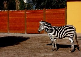 zebra in the zoo