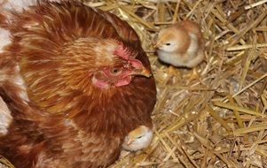 Picture of Chicken and fluffy chicks
