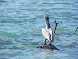 pelican on a stone in the water