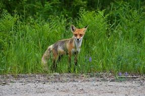 foraging wild fox in Canada