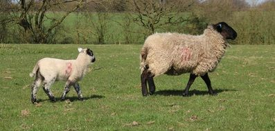 grazing sheep with lamb