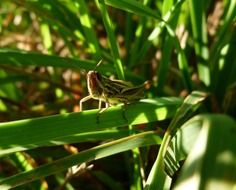 grasshopper on the green stem