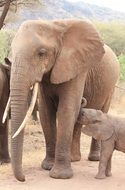 african elephant with child