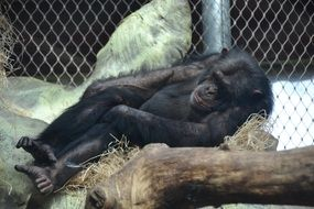 sleeping chimpanzee in the zoo