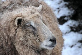 white fluffy sheep in winter
