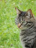 portrait of a domestic cat on the meadow