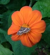 Moth Butterfly on the orange flower