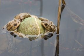 frogs at ball in water