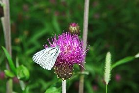 the moth on a thistle