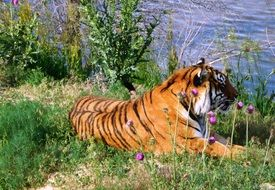 tiger resting by the lake
