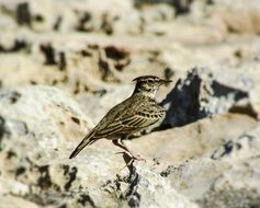Lark Bird Wildlife portrait