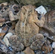 common toad like stones