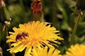 bee collects pollen from a yellow dandelion