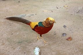 red golden pheasant in the sand