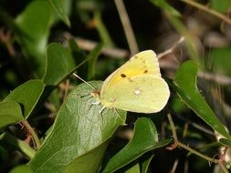 yellow bright butterfly on bright green leaves