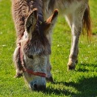 grazing donkey in good aiderbichl