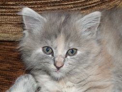 gray kitten lying on the couch