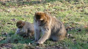 macaques dig in the green grass