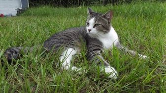 cat lies in green grass