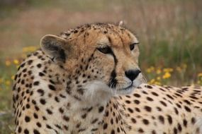 portrait of an african cheetah