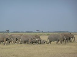 a large herd of elephants lives in Africa