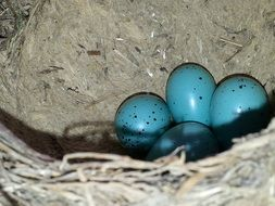 Eggs of sparrows