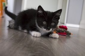 playful black and white kitten