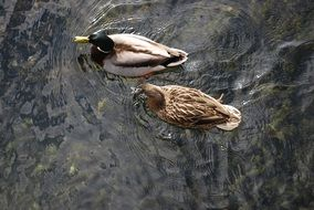 top view of ducks in a pond