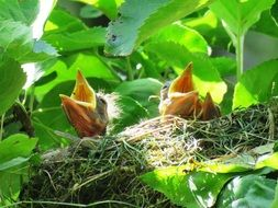 Blackbirds in a nest
