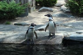 Two black and white penguins