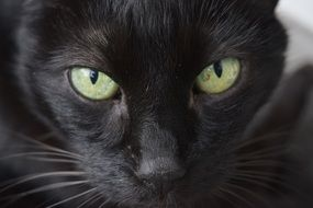green eyes in black cat close up