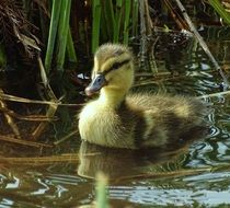duckling on water close up