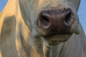 Cow Snout Nose