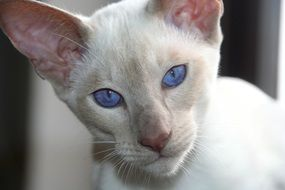 white siamese cat with blue eyes close-up