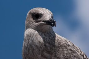 Portrait of Grey Seagull