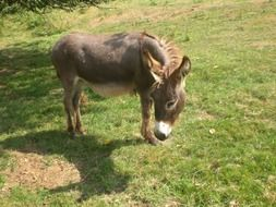 Domestic donkey on the farm