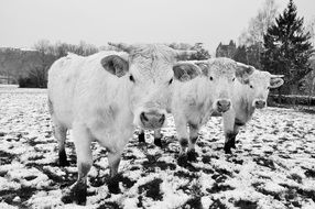 farm cows on the snowy field