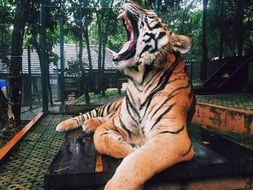 tiger yawning lying on the ground