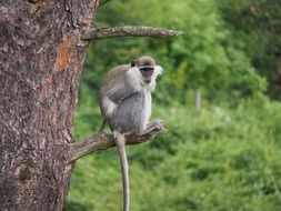 gray monkey sitting on a tree branch
