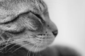 Cat Black-White photo