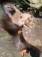 sweet grey squirrel