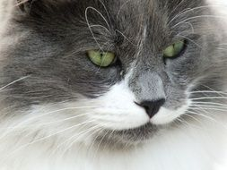 fluffy white and grey cat